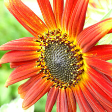 Red And Bright Decorative Sunflower Close-up