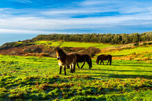 Wild Ponies Grazing On The Fire Hills During Winter In Hastings Country Park East Sussex South East England