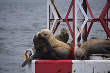 Sea Lions Gather Together In G...