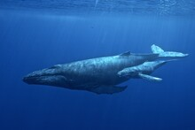 Hawaiian Islands Humpback Whal...