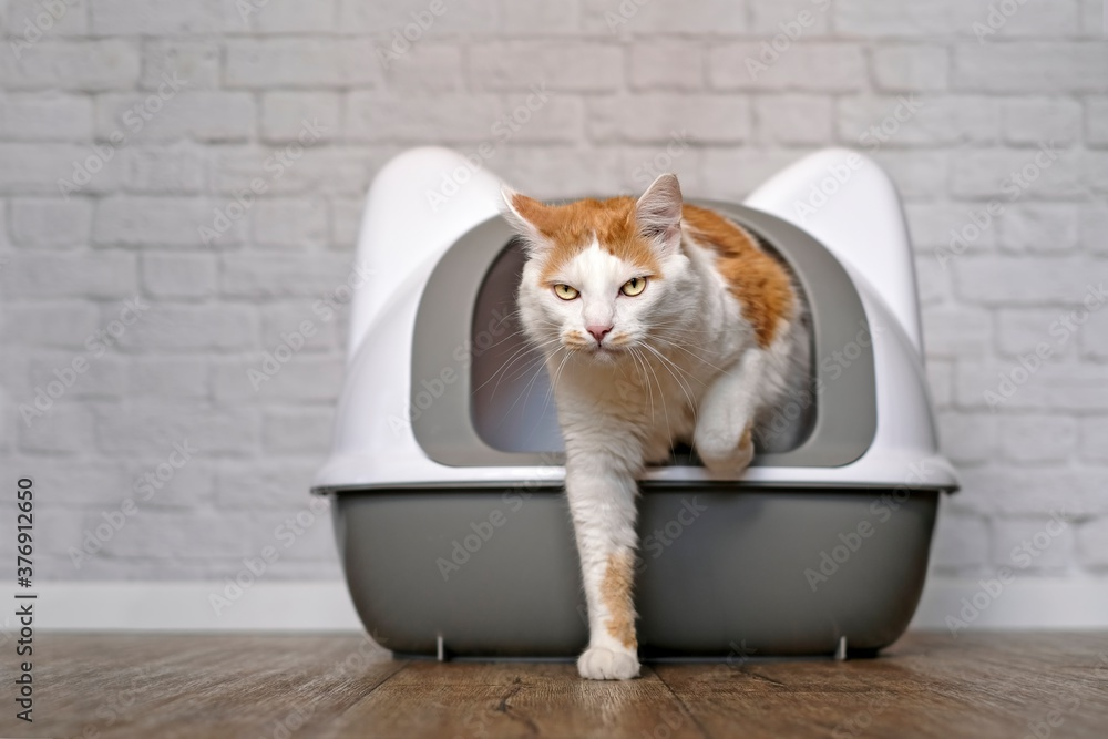 Fototapeta Funny tabby cat going out of a litter box. Panramic image with copy space.