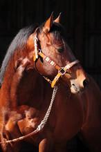 American Quarter Horse Hengst