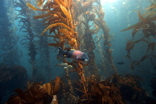 Kelp Forests, Like Those In Ch...