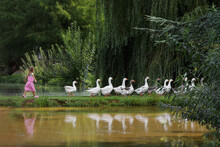 Geese Walking In A Row At The ...