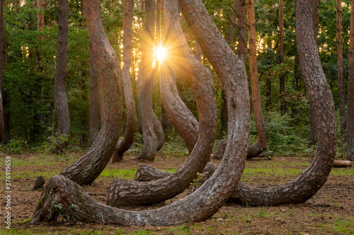 Obraz Mysterious forest with curved pines near Gryfino in Poland - fototapety do salonu