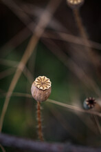 Isolated Seed Pods From A Wild...