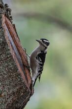 Downy / Hairy Woodpecker Sitti...