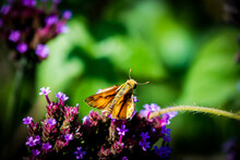 Skipper Butterfly On Flowers