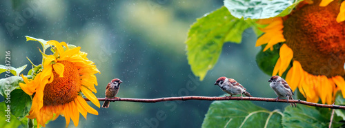 Fotografering three birds sparrows sit on a branch in the garden among the sunflower flowers i