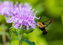 Hummingbird Moth On Flowers