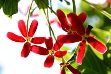 Closeup Rangoon Creeper Flower...