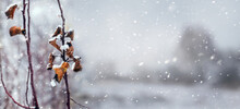Snow-covered Tree Branch With ...