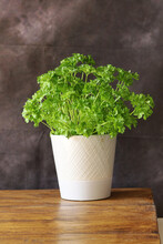 A  Parsley Plant In A White Ceramic Vase On An Oak Table Top With A Dark Background