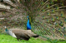 A Pair Of Peafowl, A Female Peahen In The Foreground And The Male Peacock Displaying His Train. They Are Indifferent To Each Other.