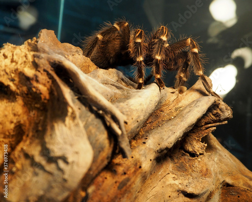 Photo a large black spider with white stripes and villi of the genus Acanthoscurria brocklehursti sits on a brown stone in a glass terrarium side view