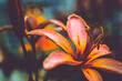 canvas print picture - orange tiger lily