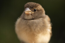 Closeup Of Cute Chubby Sparrow