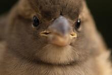 Closeup Of Cute Chubby Sparrow