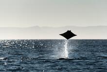 A Mobula Manta Ray Jumping Out...