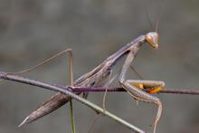 Grey Green Mantis Religiosa Mantidae Posing On A Branch