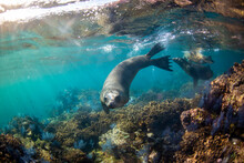 A Group Of Sea Lions Swimming Underwater At Espiritu Santo Island.