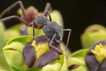 Big Camponotus Cruentatus Ant Posing In A Green Plant