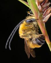 Male Specimen Of Eucera Sleeping While Biting