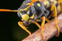 Macro Portrait Of A Polistes Dominula Wasp Posing On A Flower