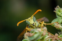 Macro Portrait Of A Polistes D...