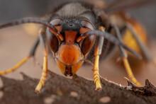 Real Vespa Velutina Or Assian Wasp Macro