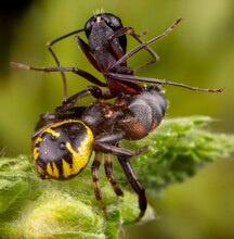 Synema Globosum Eating A Dead Ant