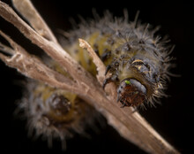 Little Hairy Caterpillar Of Dispar Lymantria Macro Portrait