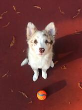Red Merle Border Collie Puppy
