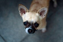Close Up Of Chihuahua Dog