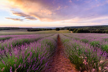 Lavender Fields. Summer Sunset...
