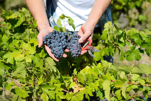 Fotografia closeup hands of a man showing ripe grapes during wine harvest in vineyard