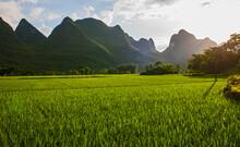 Lush Rice Field Close To Yangs...