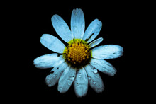 Close Up Of Common Daisy With Water Drops