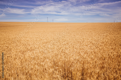 Obraz na plátně champs de blé
