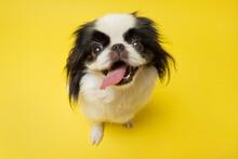 Cute Japanese Chin Against Yellow Background. Studio Shot