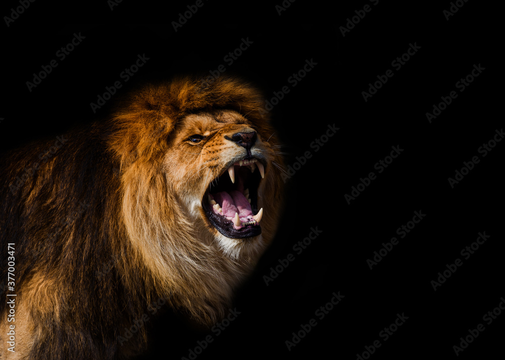 Fototapeta Portrait of a Beautiful lion, furious lion in dark