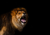 Fototapeta Sawanna - Portrait of a Beautiful lion, furious lion in dark