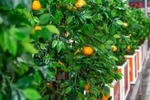 Orange Tree With Oranges In The Street