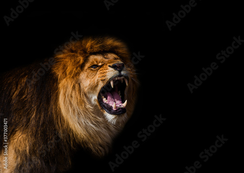 Tela Portrait of a Beautiful lion, furious lion in dark