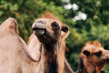 Heads Of Two Camels In The Gob...