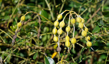 Yellow Seed Pods On Tropical Rainforest