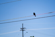 Crow On A Powerline