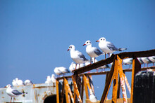 Three Seagulls Sitting On The Old Rusty Pier. Backdrop With Blue Sky And A Lot Of Gulls