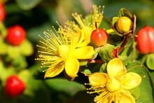 Hypericum Inodorum Flowering Plant Scrub St. John's Wort