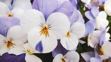 日本の花でいえばスミレ、小さくてかわいいビオラは花壇の人気者